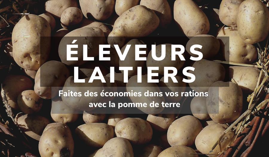 Eleveurs laitiers : faites des économies dans vos rations avec la pomme de terre