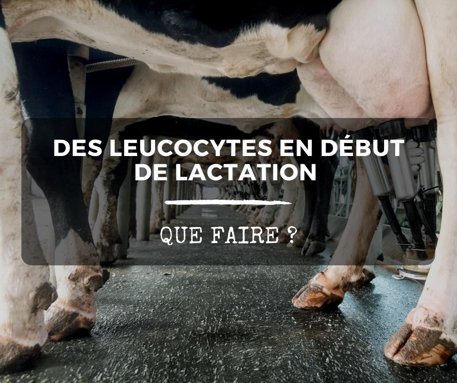 Des leucocytes en début de lactation: que faire?