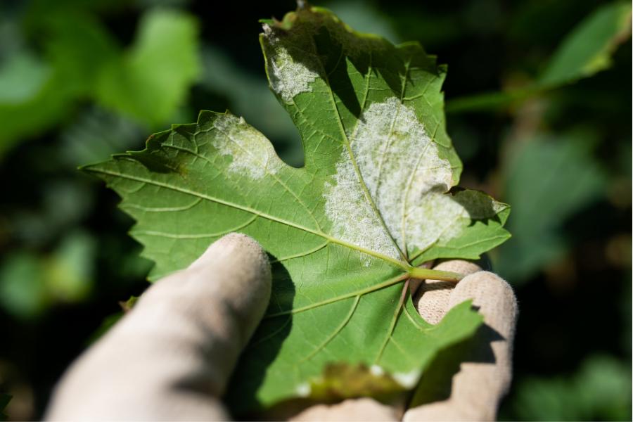 Pourquoi s'équiper d'un modèle maladie mildiou ? Témoignages viticulteurs